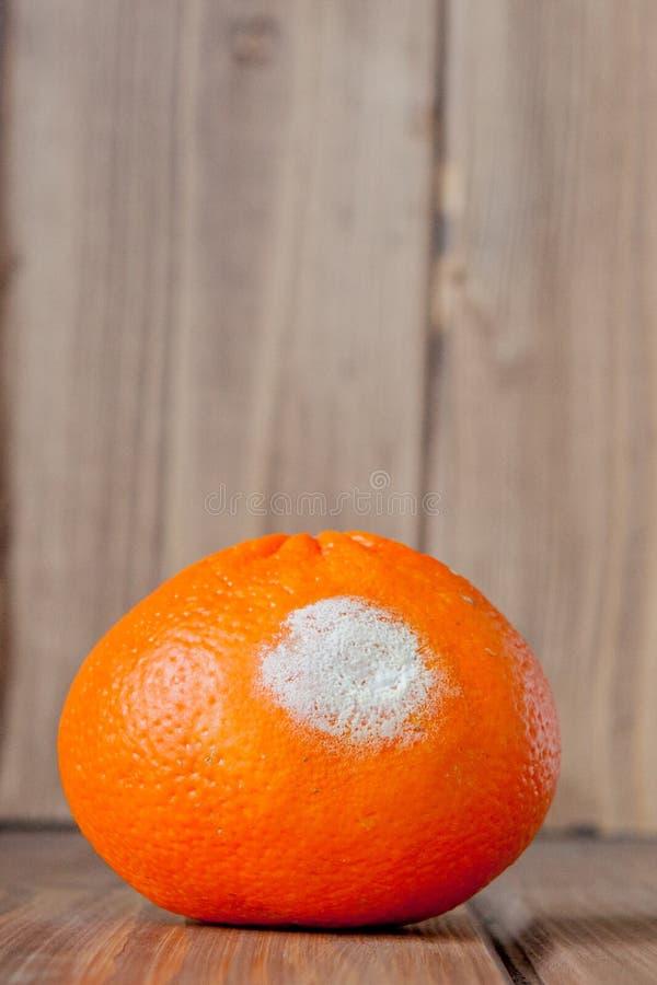 Ruttna mögliga apelsiner, tangerin på träbakgrund Ett foto av den växande formen Matförorening, dåligt bortskämt äckla royaltyfri fotografi