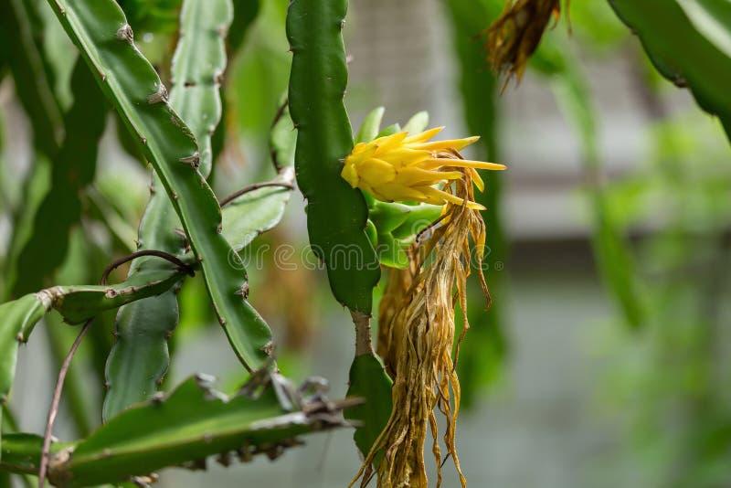 Ruw draakfruit bij landbouwbedrijf stock fotografie