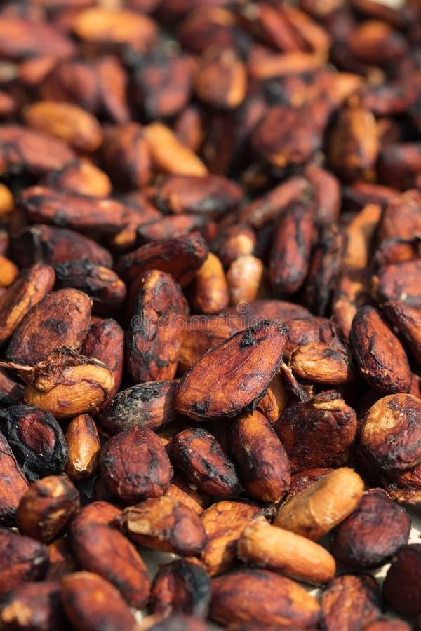 Ruwe cacaobonen die op een cacaoaanplanting drogen stock fotografie