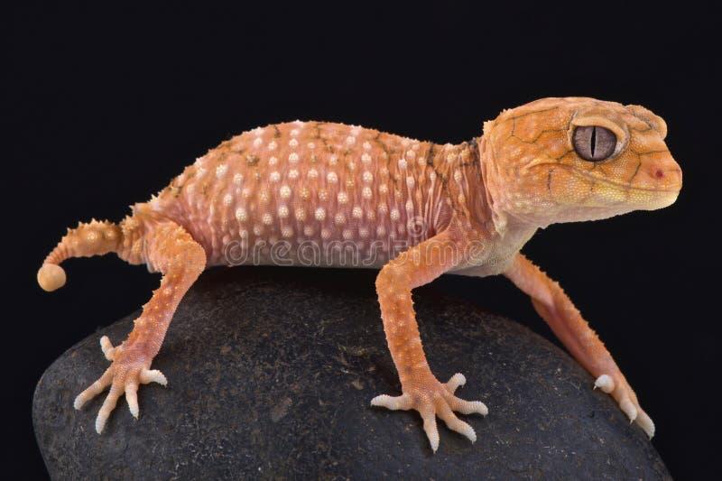 Ruwe knop-de steel verwijderde van gekko (Nephrurus-amyae) stock afbeeldingen