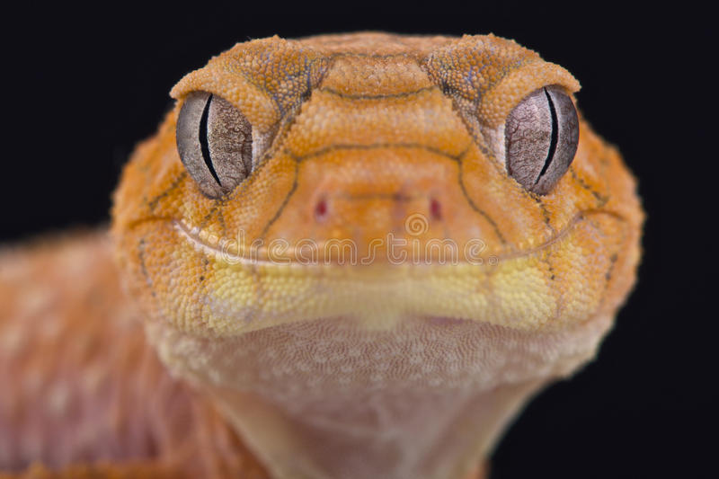 Ruwe knop-de steel verwijderde van gekko (Nephrurus-amyae) stock fotografie