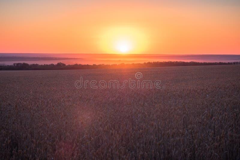 Ruwe natuurvoedingachtergrond Zonsonderganghemel met wolken over landelijke scène Het groene gebied van de de herfsttarwe Zonnige stock foto's