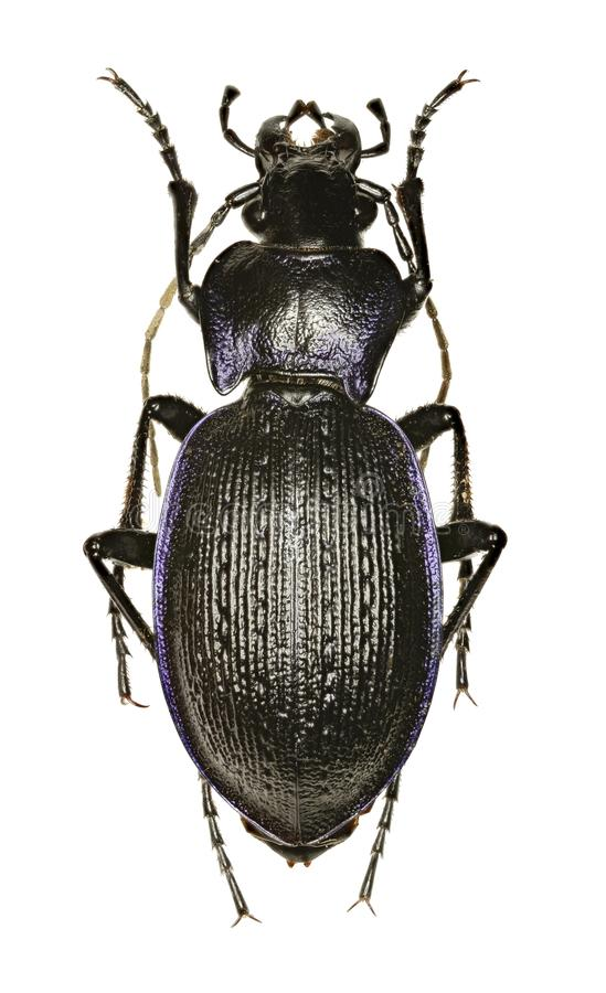 Ruwe Violet Ground Beetle op witte Achtergrond stock afbeeldingen