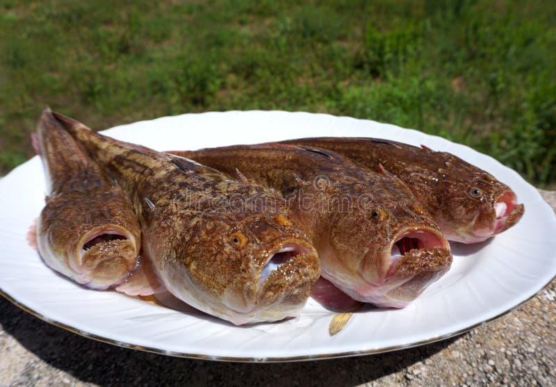 Ruwe zeevissen Uranoscopus scaber of Dromer op de witte plaat Vissen die gewoonlijk in het zand of de modder begraven vonden royalty-vrije stock foto