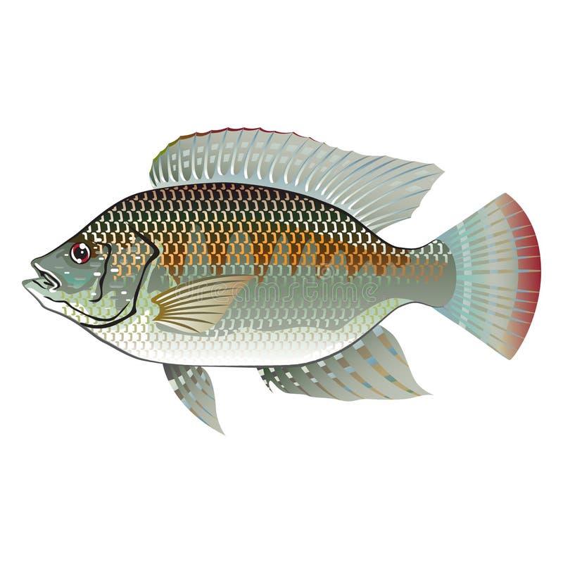 Ruwe Zeevruchtentilapia stock illustratie