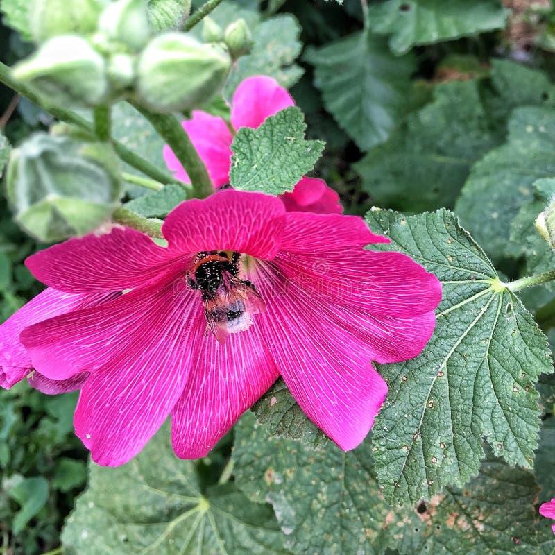 Ruwharige hommel en bloemmalvebloem royalty-vrije stock afbeelding