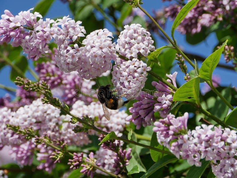 Ruwharige hommel op lilac bloemen royalty-vrije stock afbeelding