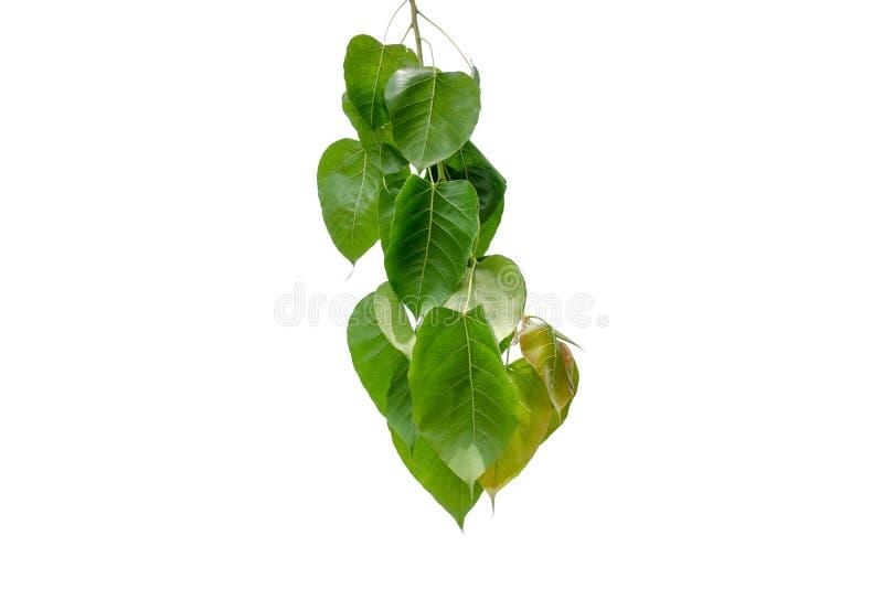 ?rvore da folha do verde de Bodhi isolada no fundo branco fotos de stock royalty free