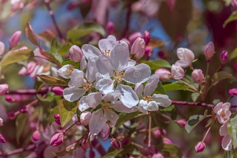 ?rvore de Apple na flor imagem de stock royalty free
