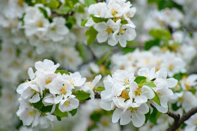 A ?rvore de Apple na flor com as flores delicadas das p?talas do branco cinco e as folhas verdes novas fecham-se acima foto de stock royalty free