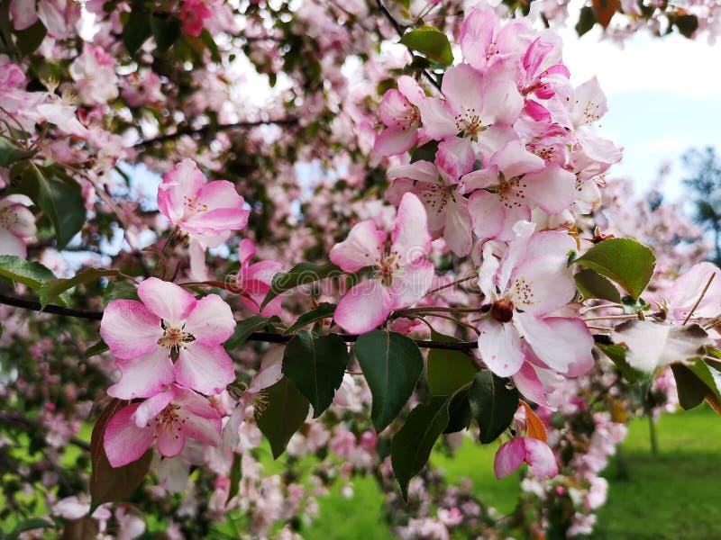 ?rvore de Apple na flor imagem de stock