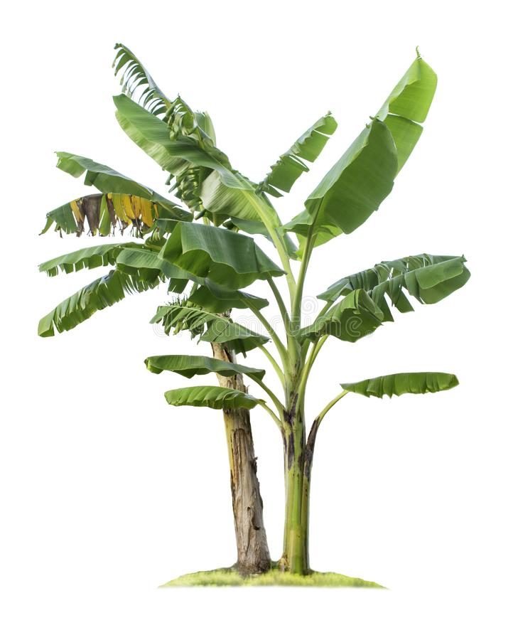 ?rvore de banana isolada no fundo branco imagem de stock
