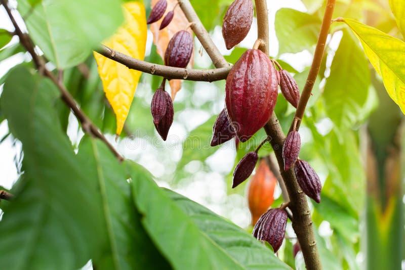 ?rvore de cacau & x28; Cacao& x29 do Theobroma; Vagens org?nicas do fruto do cacau na natureza fotografia de stock
