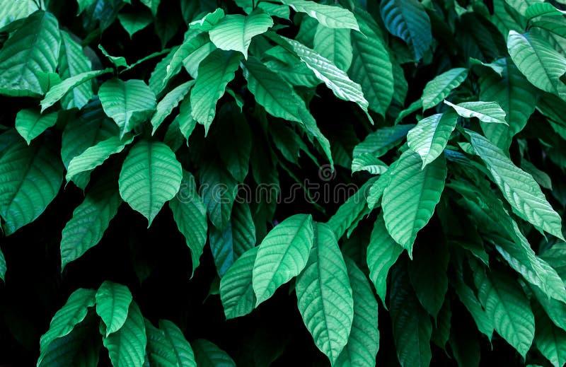 ?rvore de cacau & x28; Cacao& x29 do Theobroma; Vagens org?nicas do fruto do cacau na natureza foto de stock
