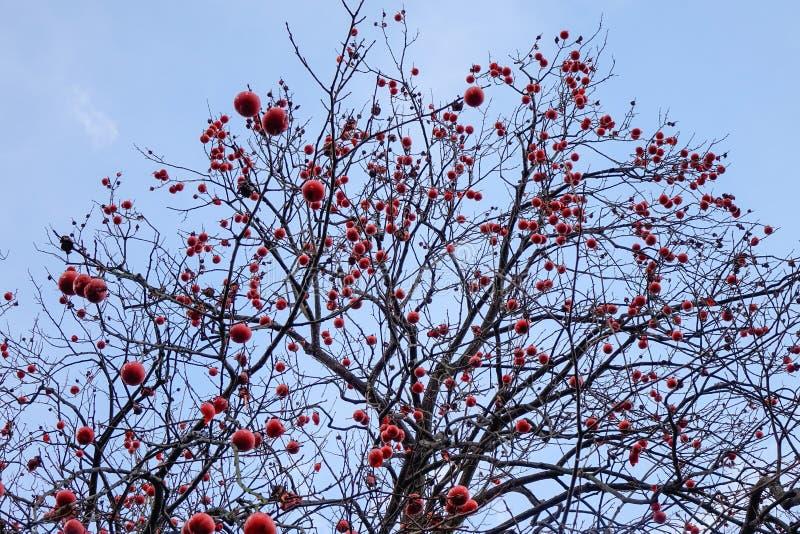 ?rvore de caqui com frutos no outono imagem de stock