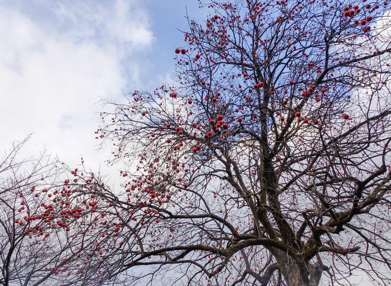 ?rvore de caqui com frutos no outono fotos de stock royalty free