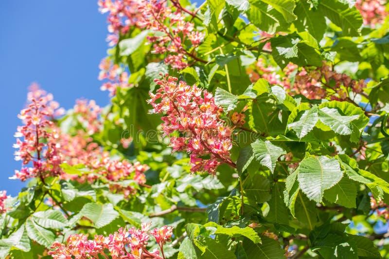 ?rvore de castanha, flores de floresc?ncia da castanha na flor da primavera, a vermelha ou a cor-de-rosa da castanha imagens de stock
