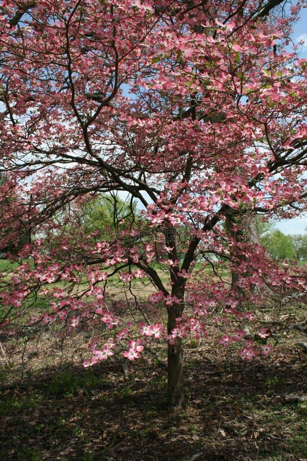 ?rvore de corniso cor-de-rosa I 2019 fotografia de stock