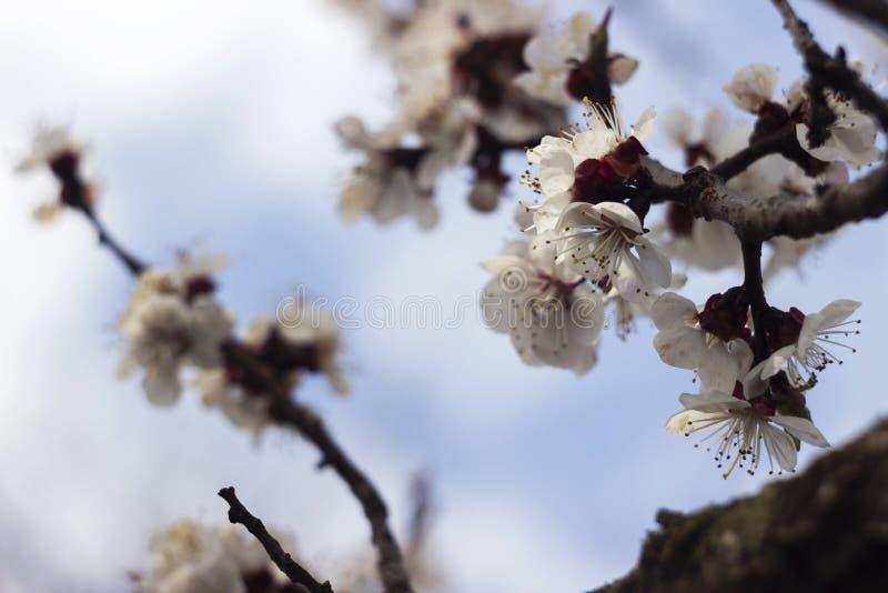 ?rvore de floresc?ncia bonita - abric?s, fundo, c?u azul Conceito da mola, ?rvore com flores brancas fotos de stock royalty free
