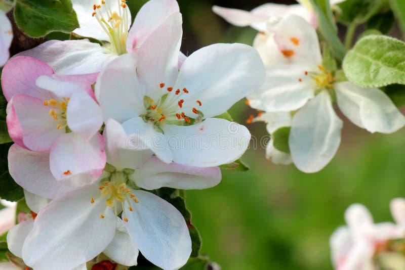 ?rvore de ma?? do caranguejo na flor completa Todos os ramos s?o espalhados com bot?es e as flores brancas e cor-de-rosa frescas  foto de stock