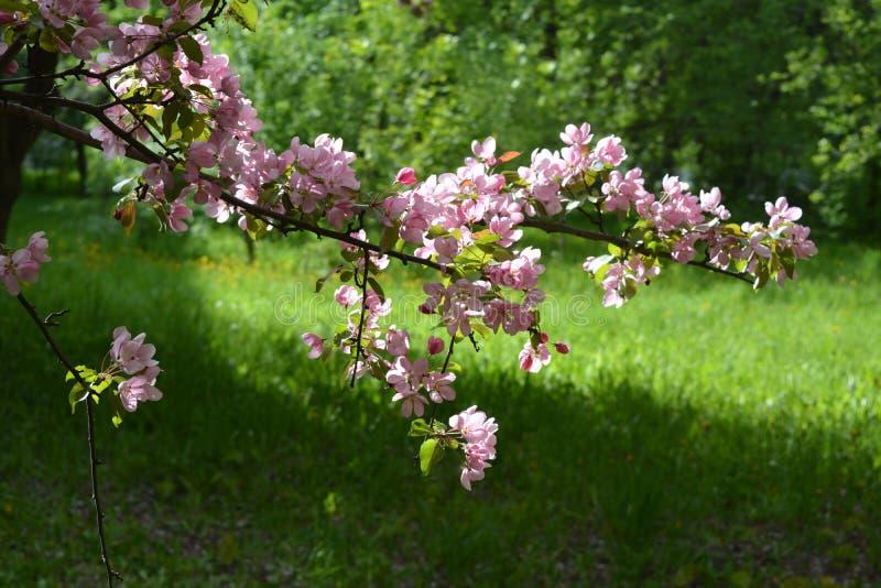 ?rvore de ma?? de floresc?ncia na mola Malus Niedzwetzkyana Ramo com as flores cor-de-rosa no fundo da grama verde foto de stock