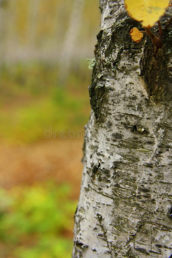 ?rvore de vidoeiro outdoor Cores brilhantes do outono foto de stock royalty free
