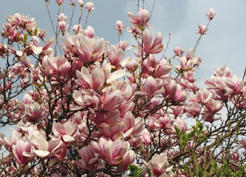 ?rvore do Magnolia na flor fotografia de stock