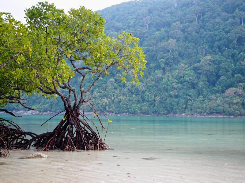?rvore dos manguezais no mar e na montanha do fundo da praia imagem de stock