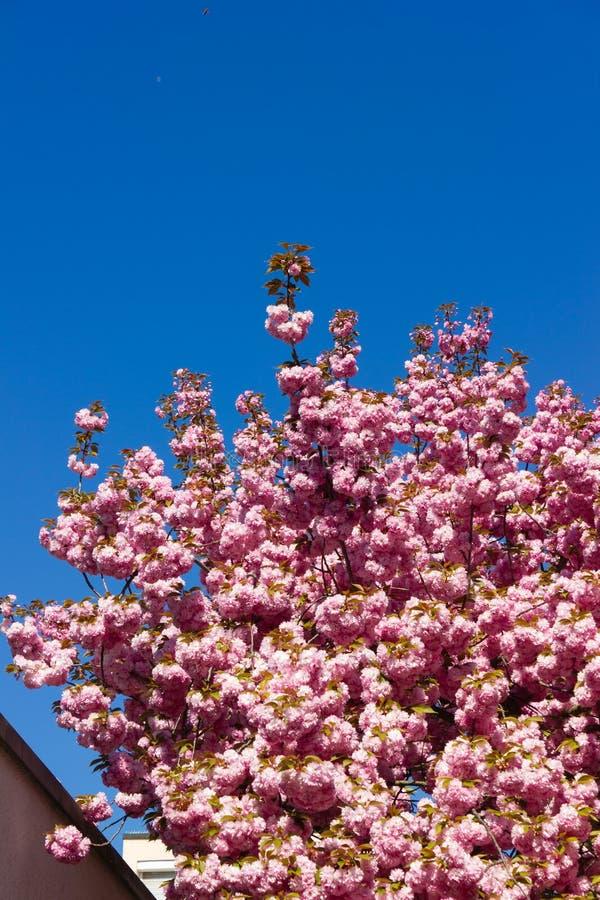 ?rvore e flor de am?ndoa foto de stock