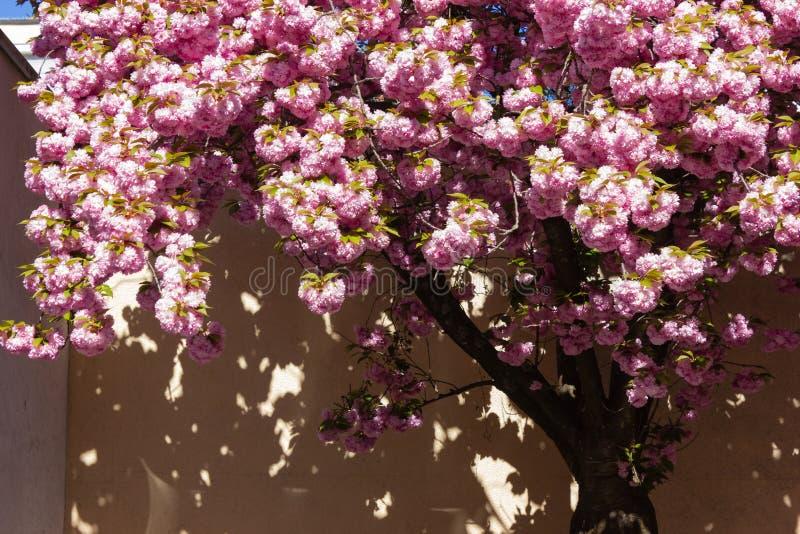 ?rvore e flor de am?ndoa imagem de stock royalty free