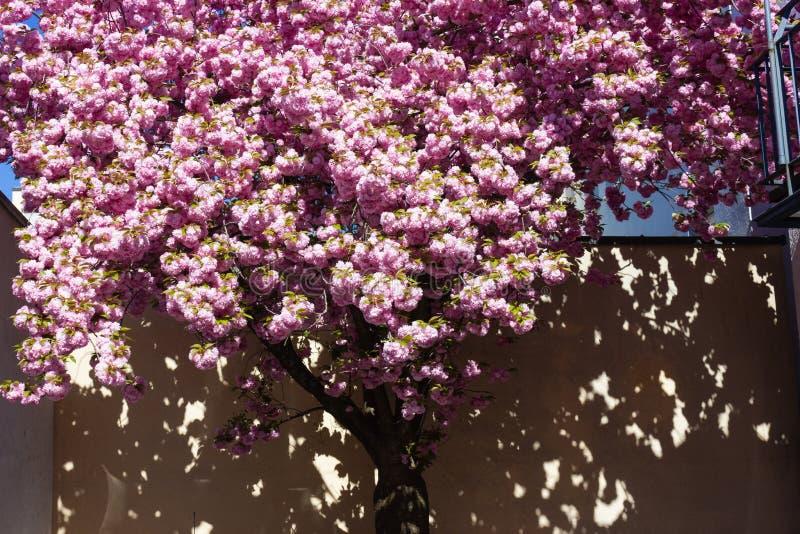 ?rvore e flor de am?ndoa fotografia de stock royalty free