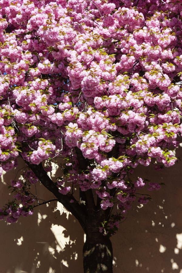 ?rvore e flor de am?ndoa fotos de stock