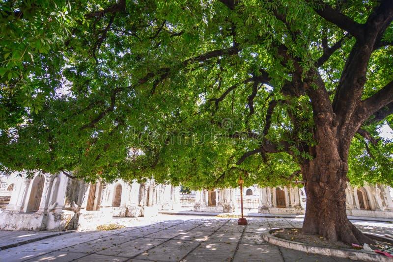 ?rvore enorme no jardim do templo budista foto de stock
