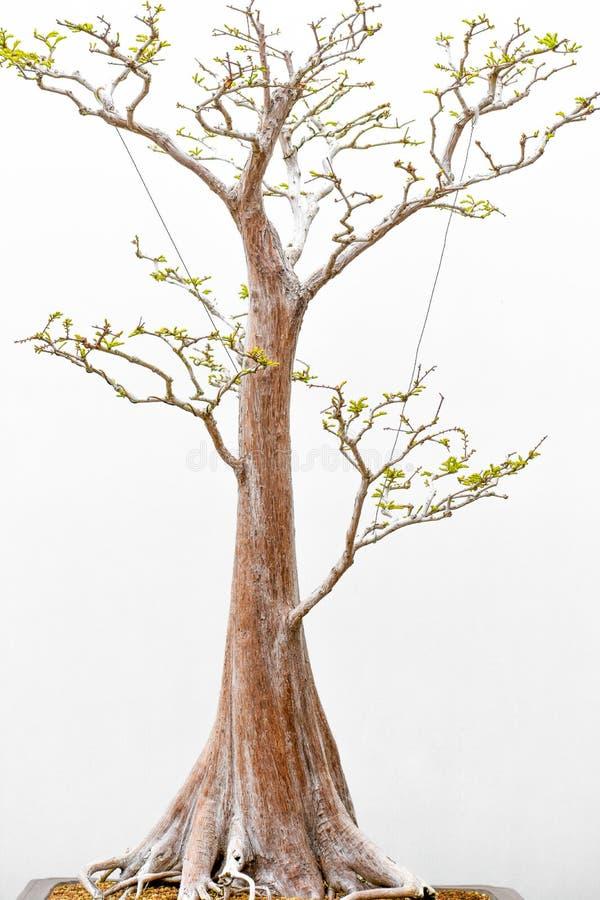 ?rvore japonesa dos bonsais no potenci?metro imagem de stock
