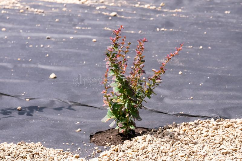 ?rvore plantada Revestimento especial, seixos Projeto da paisagem Cuidado da ?rvore fotos de stock