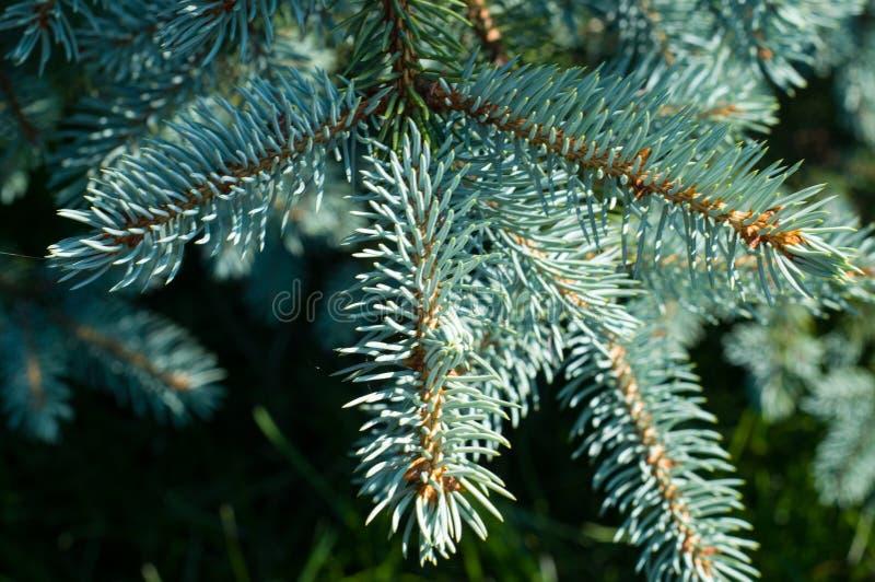 ?rvore verde Filial do pinho imagens de stock royalty free
