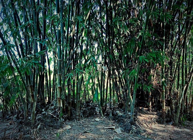 ?rvores de bambu na floresta fotografia de stock