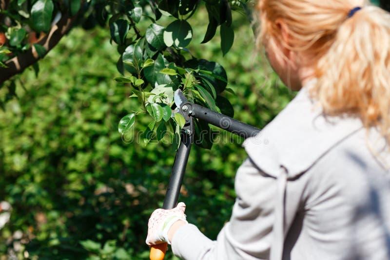 ?rvores de fruto de poda do jardineiro com tesouras de poda fotografia de stock royalty free