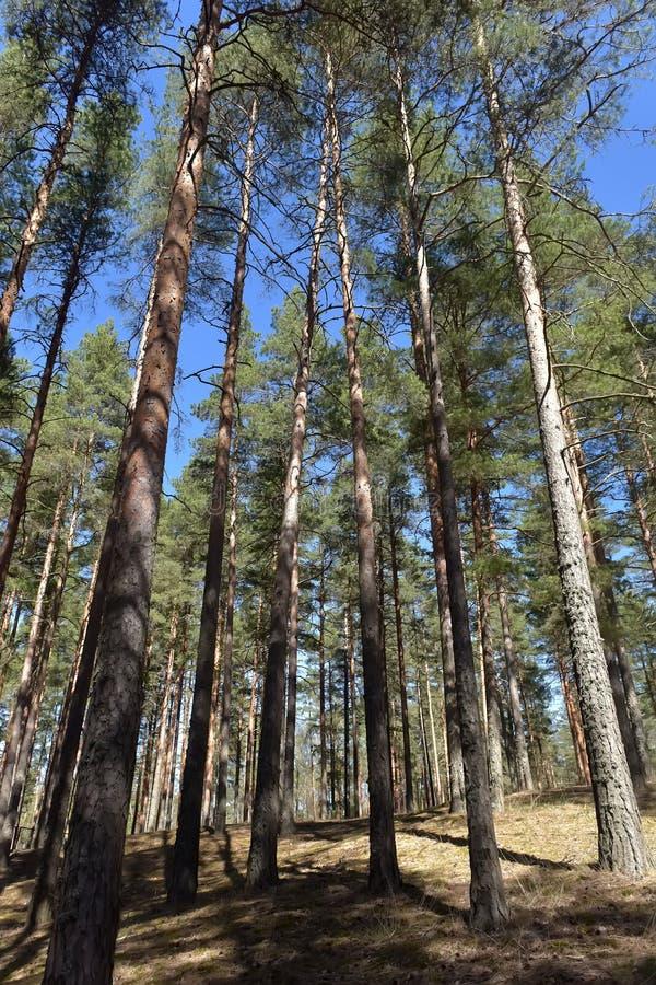 ?rvores de pinho altas na floresta fotos de stock royalty free
