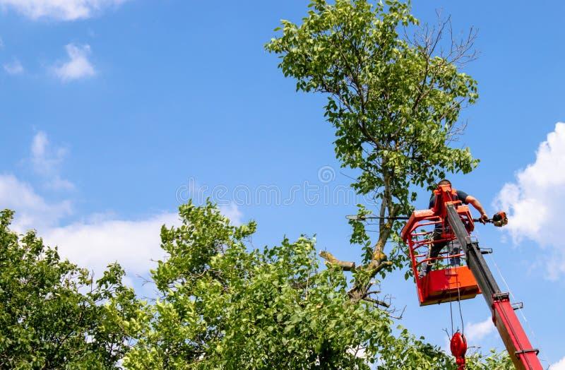 ?rvores de poda e ver um homem com uma serra de cadeia, um homem na alta altitude entre os ramos de uma grande ?rvore velha fotografia de stock