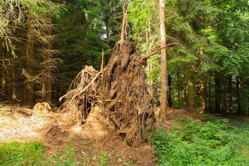 ?rvores desarraigadas Árvore caída na paisagem da floresta da floresta As raizes da ?rvore ?rvore grande velha Ursos nas madeiras imagem de stock