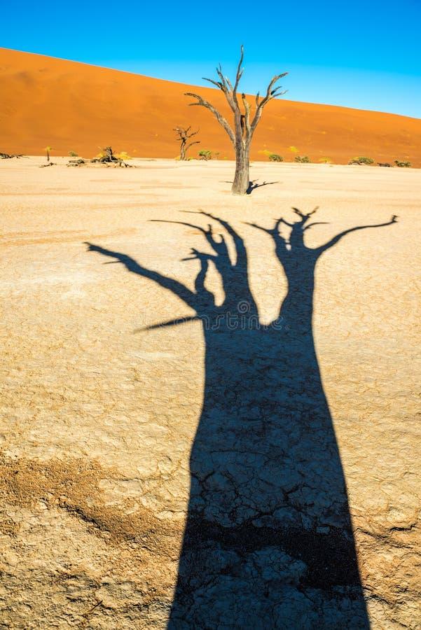 ?rvores inoperantes de Camelthorn e dunas vermelhas em Deadvlei, Sossusvlei, parque nacional de Namib-Naukluft, Nam?bia imagens de stock royalty free