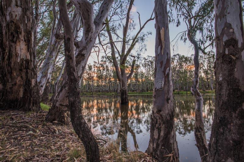 Árvores no lago Mulwala Austrália imagem de stock royalty free
