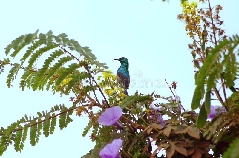 Rwandan colorful bird eating nectar in tree in tropical forest royalty free stock photos