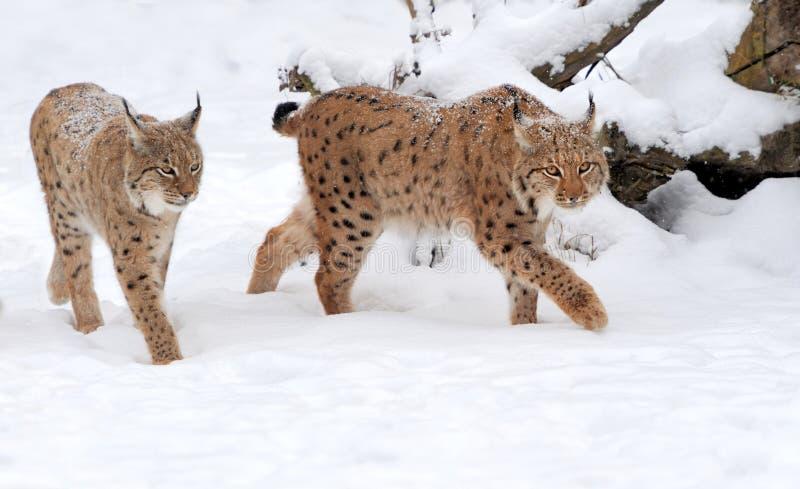 Ryś w zima dniu zdjęcie royalty free