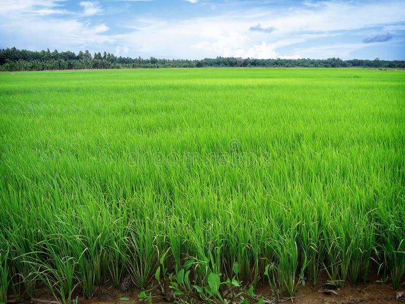 ryż niełuskany obrazy royalty free
