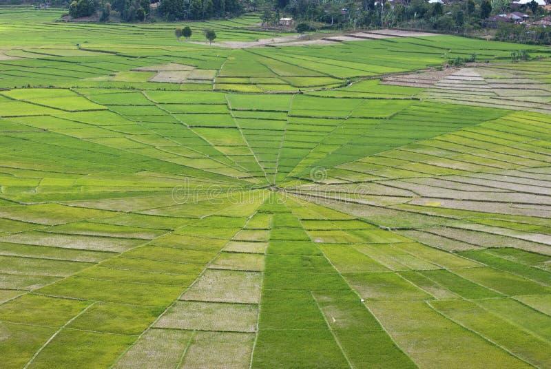 Ryż pola jak pająk sieć Azja Południowo-Wschodnia zdjęcia stock