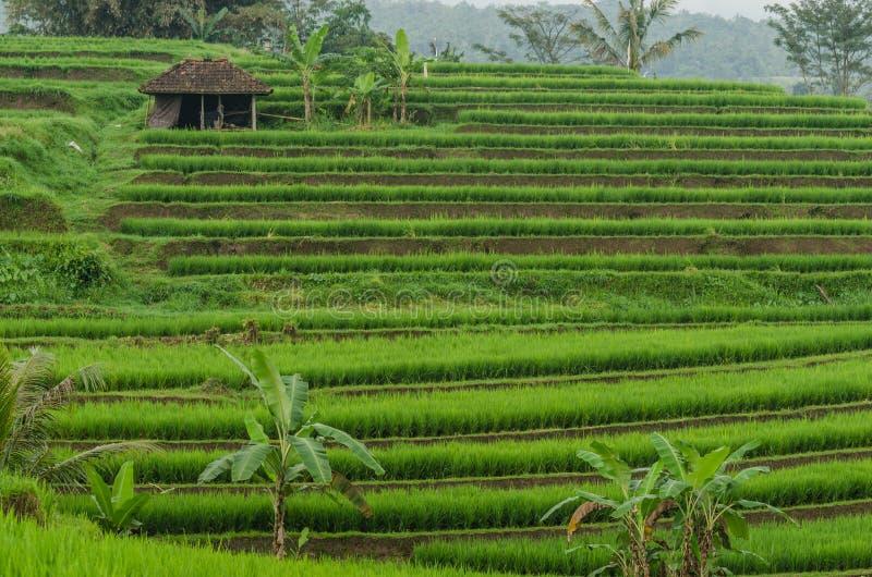 ryż tarasy zielone obraz stock