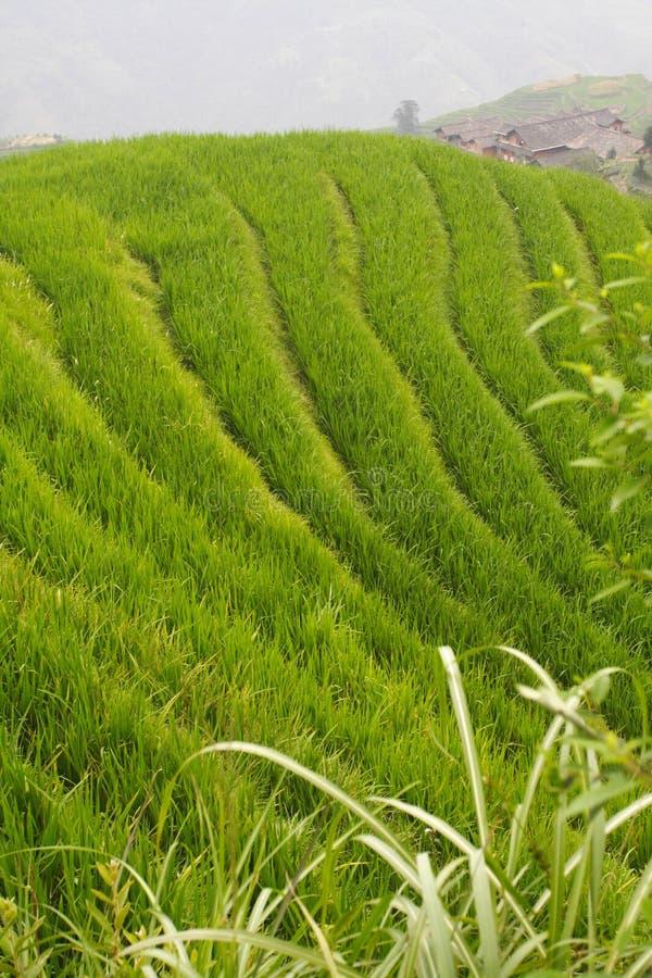 ryż w warunkach polowych zdjęcie stock