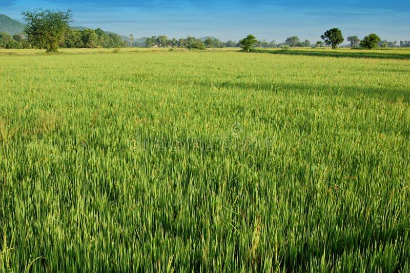 ryż w warunkach polowych zdjęcia royalty free
